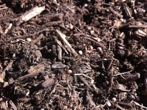 carrot seeds2