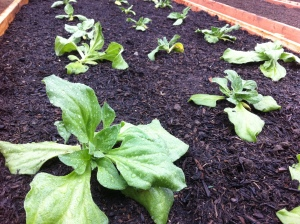ice lettuce planted2