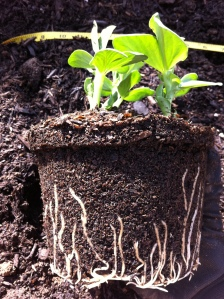 Potted Favas